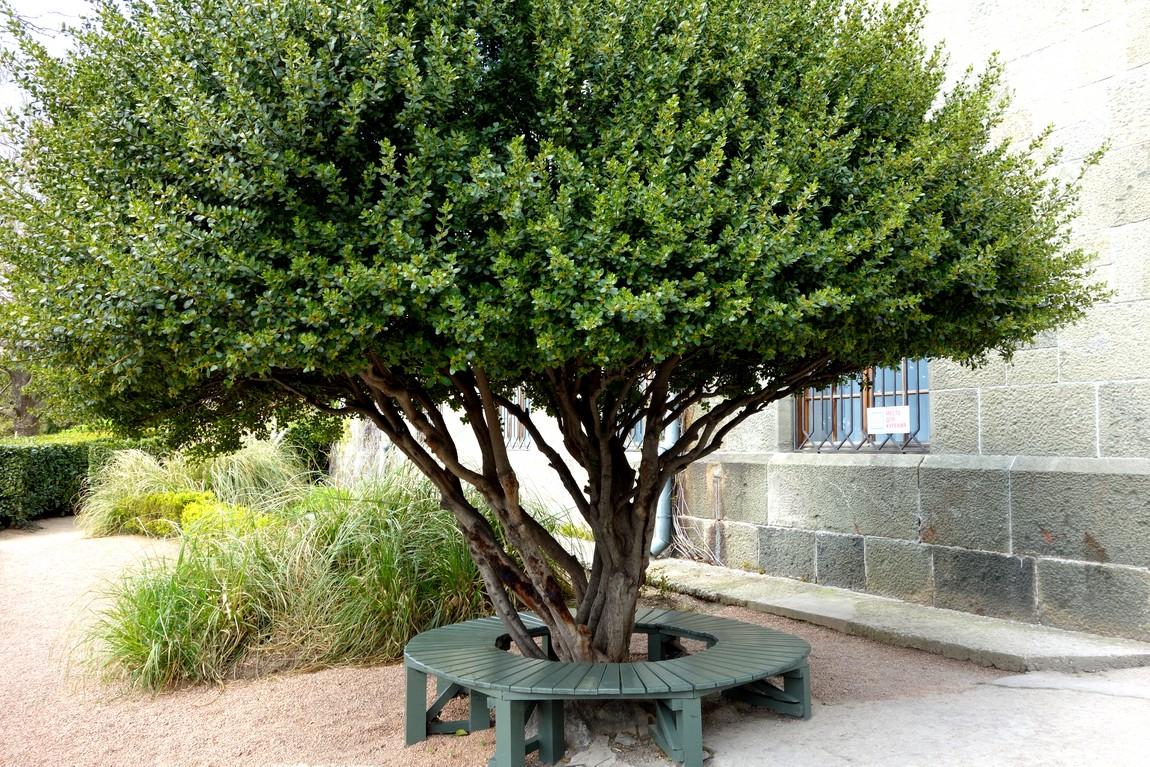 Самшитовое дерево -Воронцовский парк - Крым