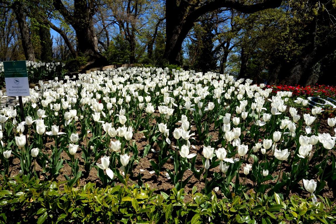 Белые тюльпаны в парке Ливадии