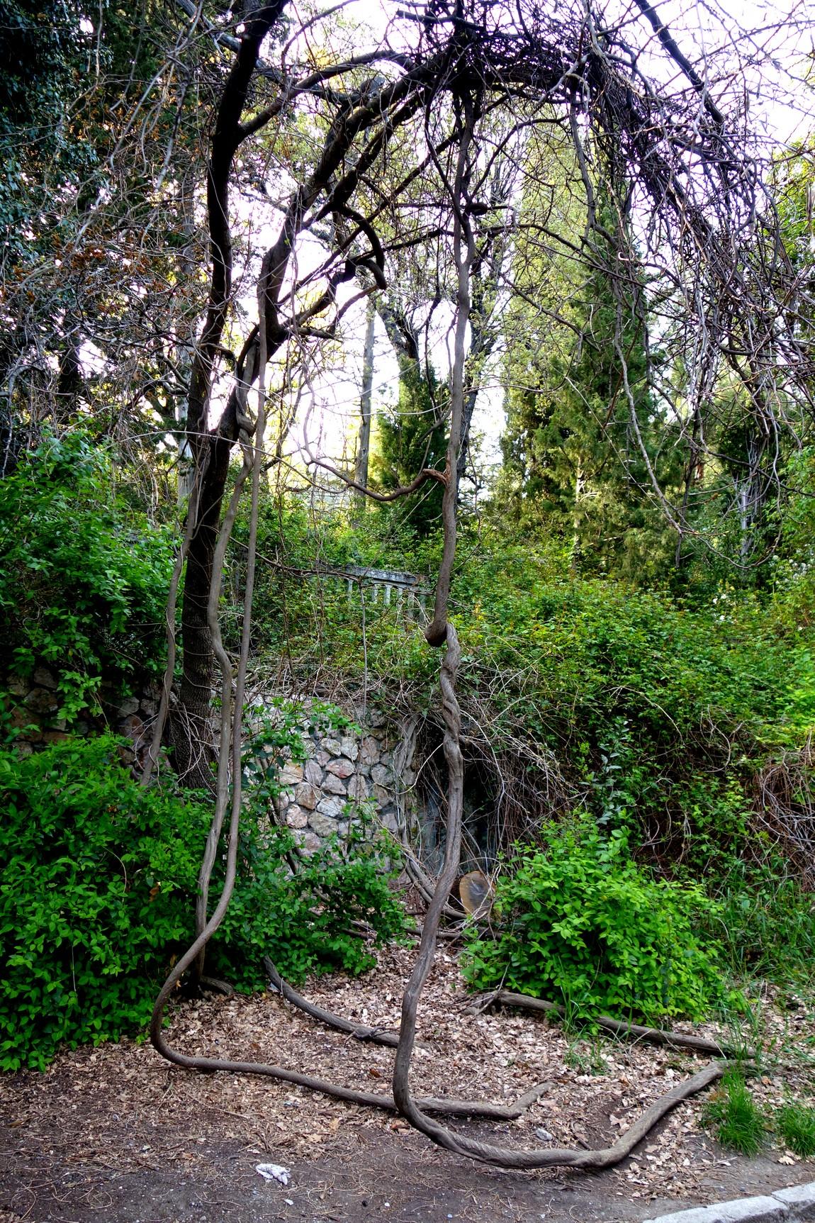 Деревья в парке Кореиз - Крым