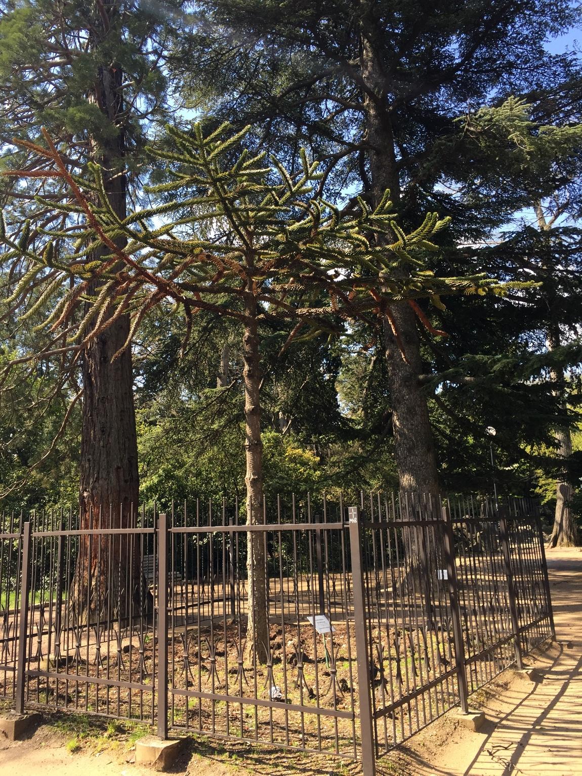 Араукария в парке Крыма