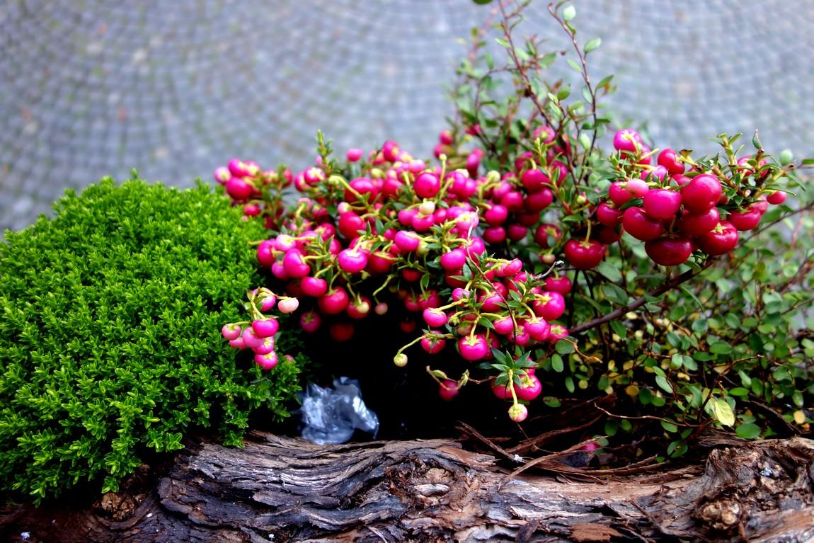 Декоративный куст и ягоды как украшение в Австрии