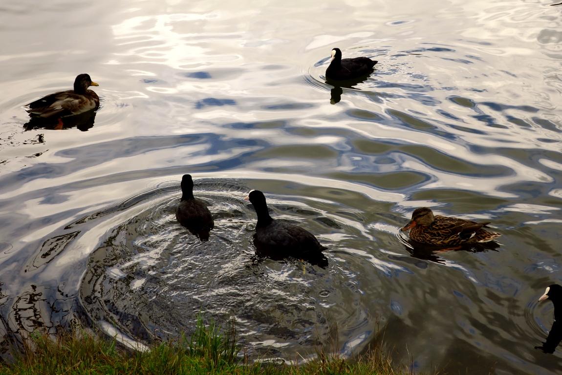 Чёрные уточки в Вильдзе (Wildsee lake) - Австрия