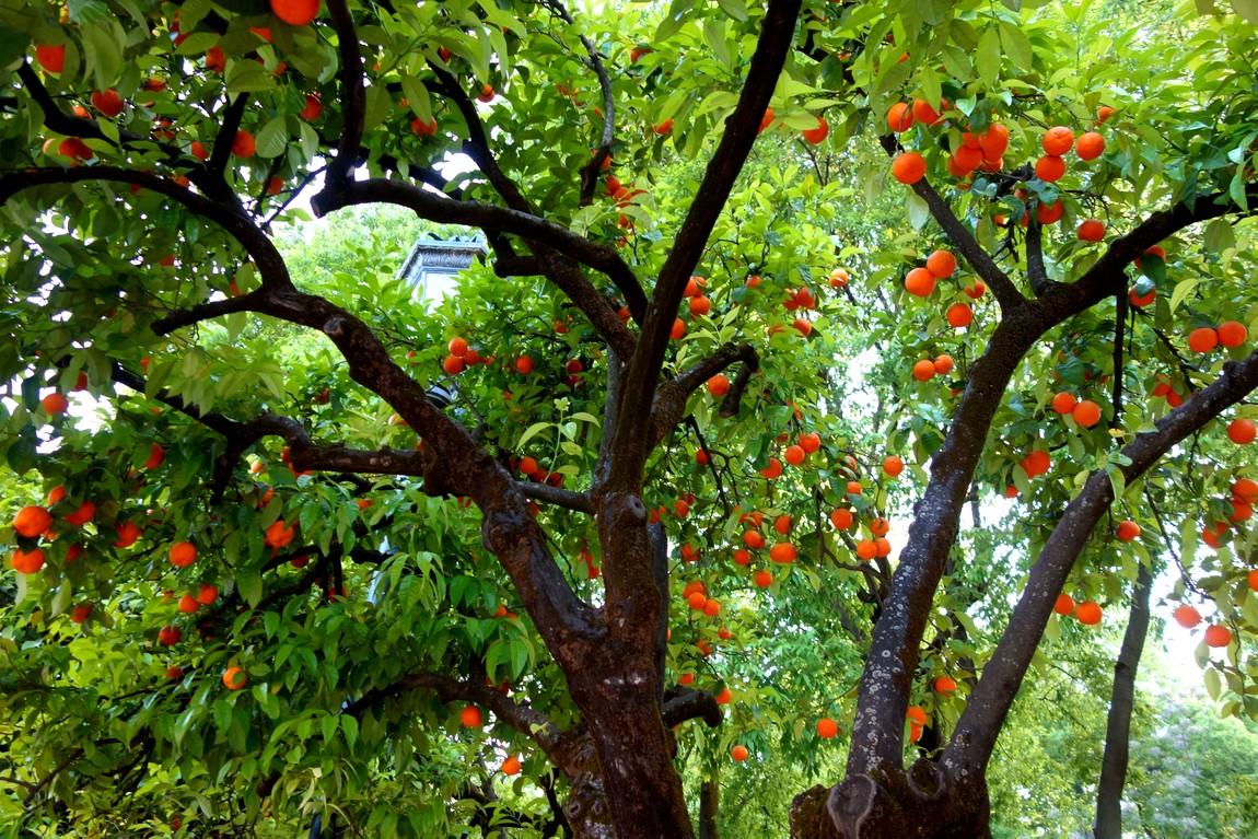 Парк в Севильи -апельсины