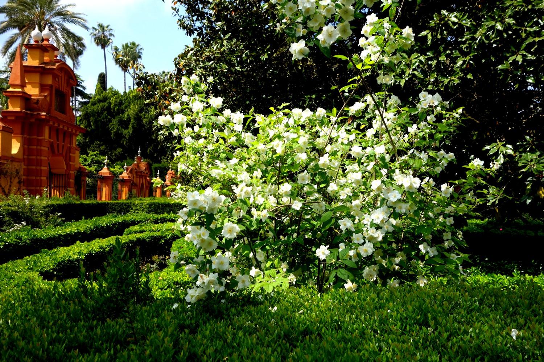 Сады Алькасар в Севилье - жасмин