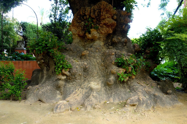 """Ствол дерева с """"бородавками"""" в Испании"""