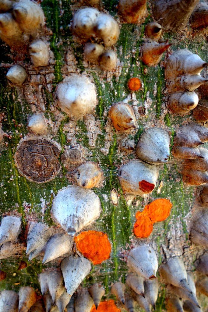 Дерево хоризия в Испании
