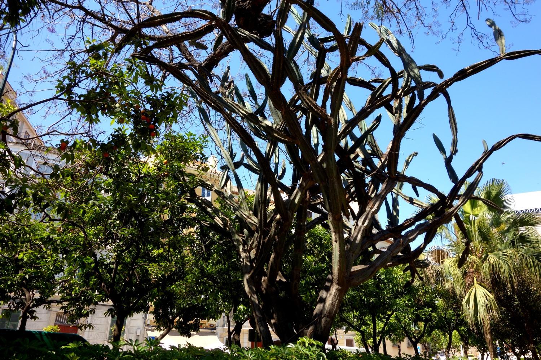 Кактусообразное дерево в Испании