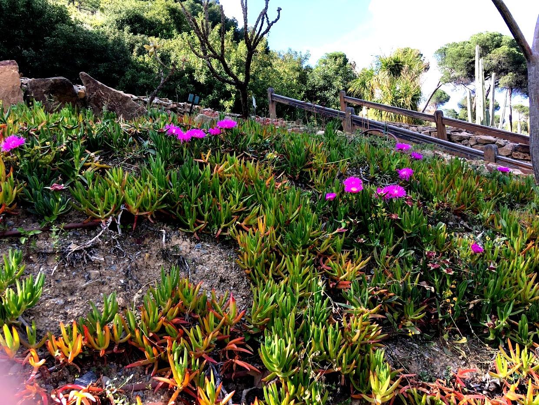 Ботанический сад La Concepcion - Карпобротус (Carpobrotus)