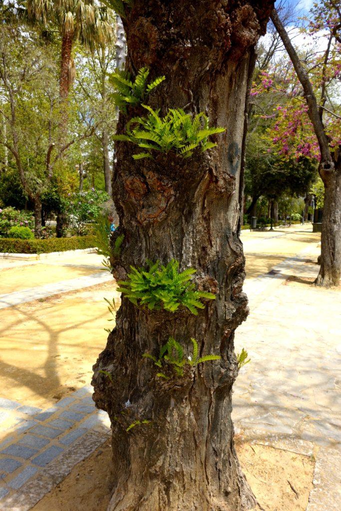 Паразиты на дереве в Испании