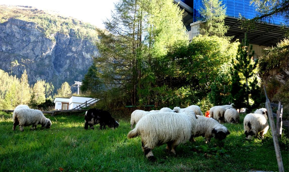 Барашки на лугу в Швейцарии