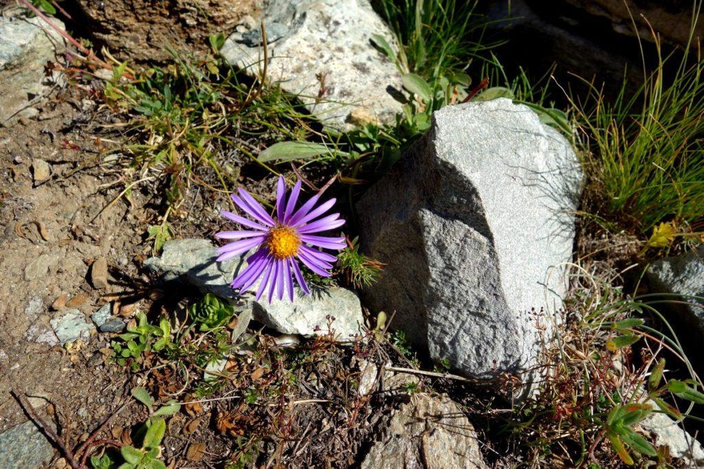 Цветы в горах Швейцарии